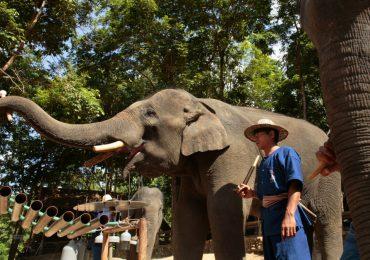 Elefantes en Tailandia foto Getty Images