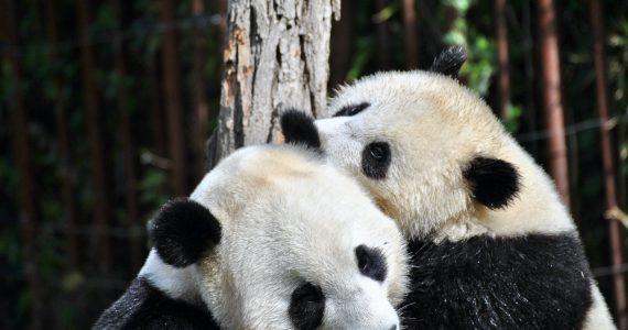 pandas aparean coronavirus Foto ilona-froehlich-unsplash