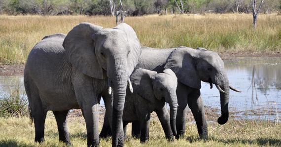 Mueren 110 elefantes en área protegida y nadie sabe la razón