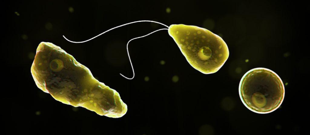 Naegleria fowleri ameba come cerebros